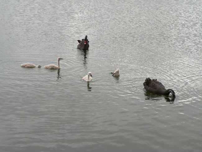 Black Swans Swan Cygnets Cygnus Atratus Beauty In Nature Water Bird Lake Water Animal Themes Animals In The Wild Wildlife Nature Outdoors Day Swimming Animal Behavior Waterbirds Conservation Status Conservation Animal Rippled Togetherness Tranquility