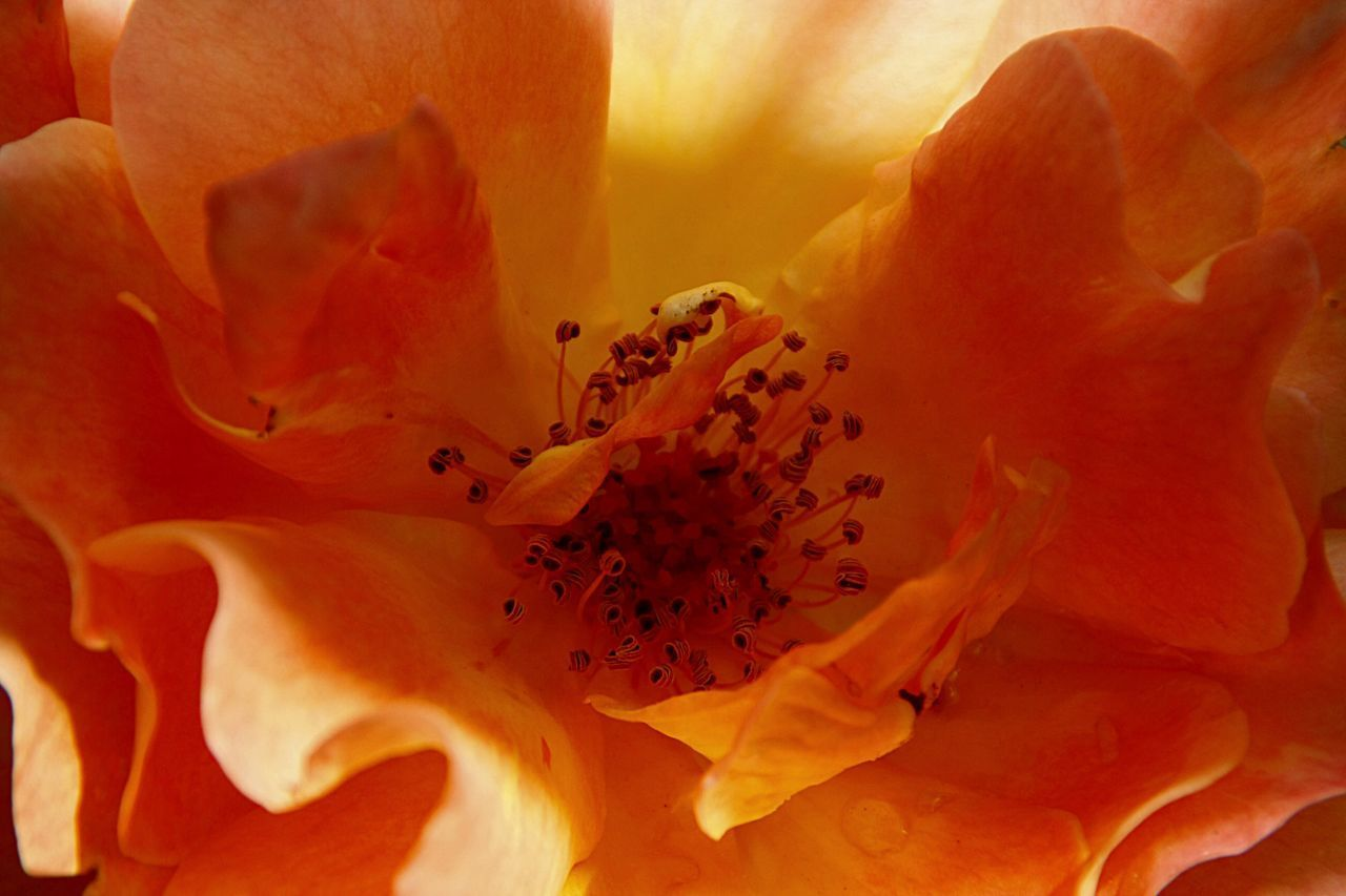 flower, petal, flower head, freshness, fragility, close-up, beauty in nature, single flower, growth, pollen, orange color, blooming, nature, stamen, plant, yellow, extreme close-up, in bloom, macro, selective focus