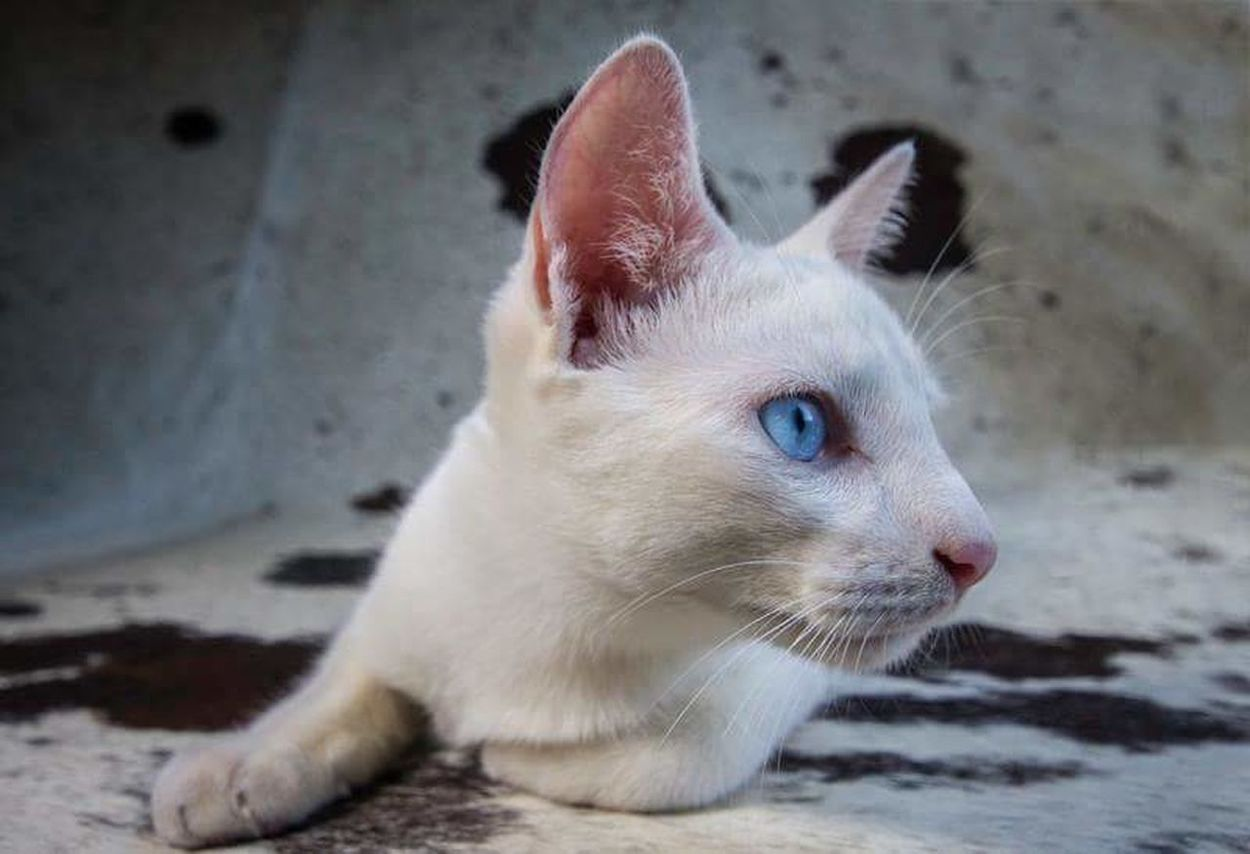 The light caught his eyes pur-fectly, no enhancments on them. Pets One Animal Domestic Cat Feline No People Close-up Cat Elysia Ranking Elysiaranking Pet Portraits