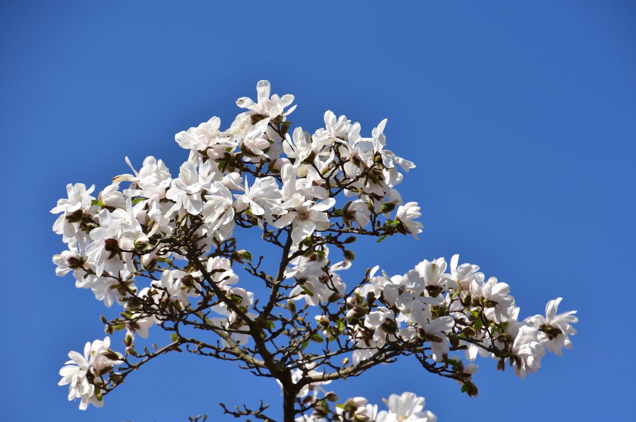 White Color Flower Nature Blue Growth Beauty In Nature Blossom Fragility Apple Blossom Clear Sky Tree Low Angle View Apple Tree Springtime Petal No People Fruit Tree Freshness Close-up Branch
