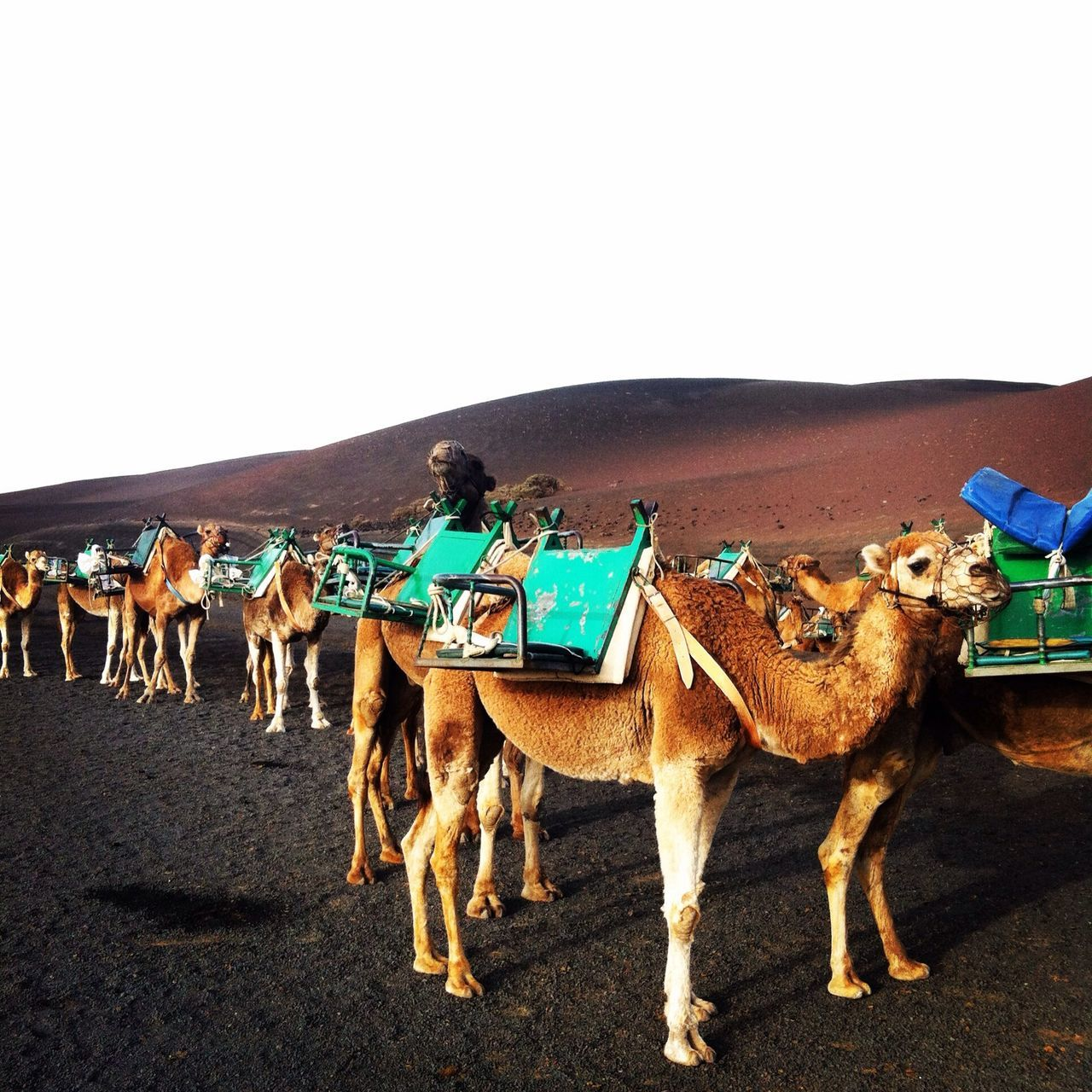 Walking Around People Watching Dromedary