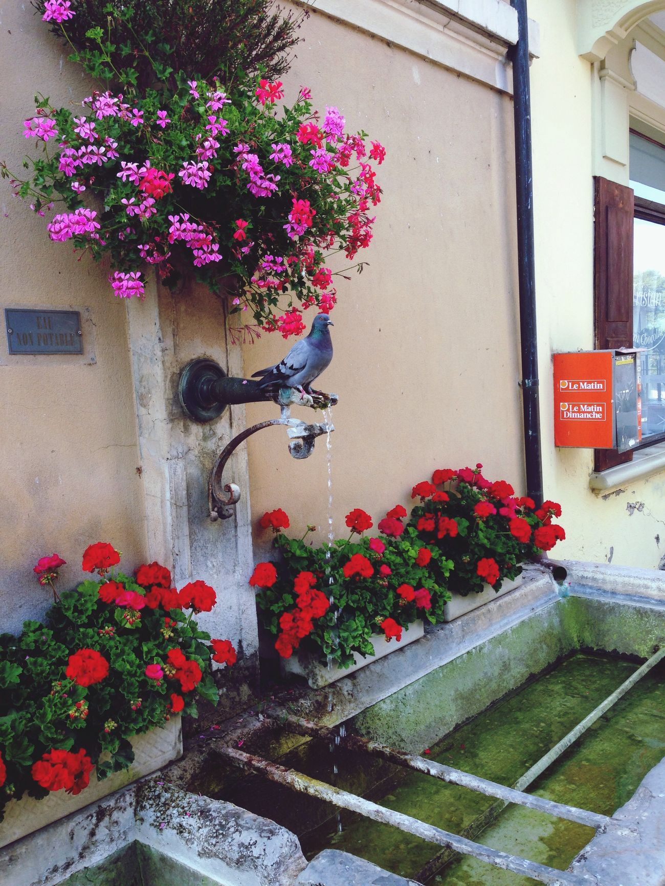 Vive les pigeons ma gueul