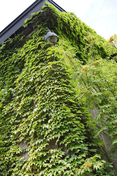 つた Ivy 蔦 小樽 Otaru Ivy Leaves Ivy Wall
