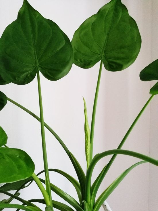 Alocasia Green Color Nature Indoor Hoarder First Eyeem Photo