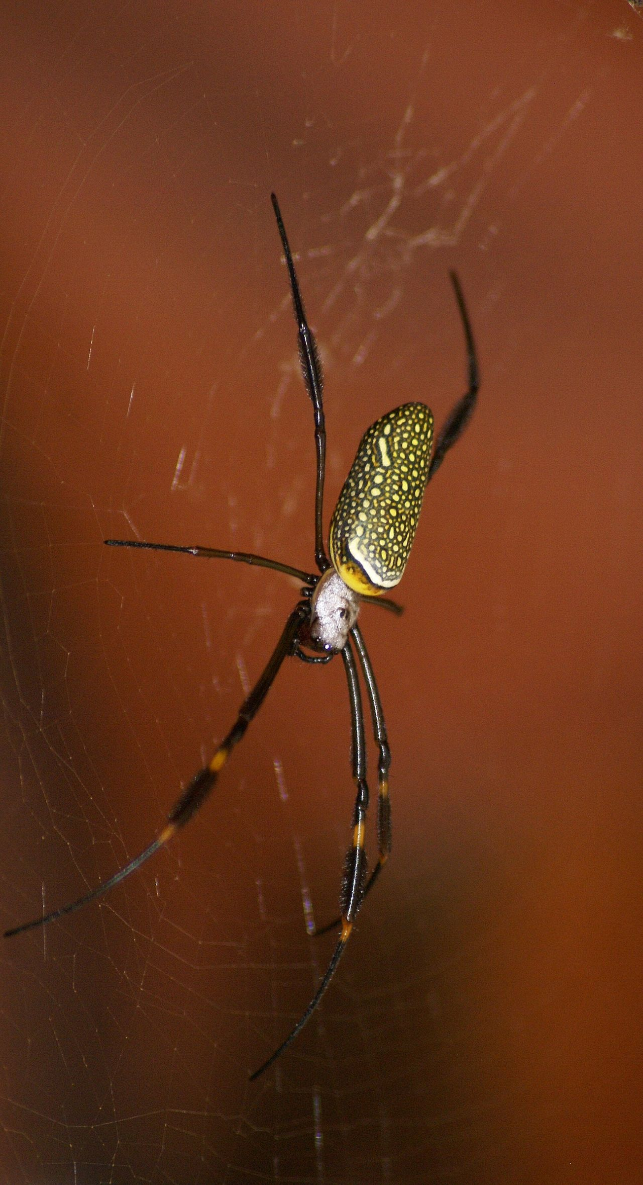 Beautiful stock photos of spider's, Animal Themes, Animals In The Wild, Brazil, Close-Up