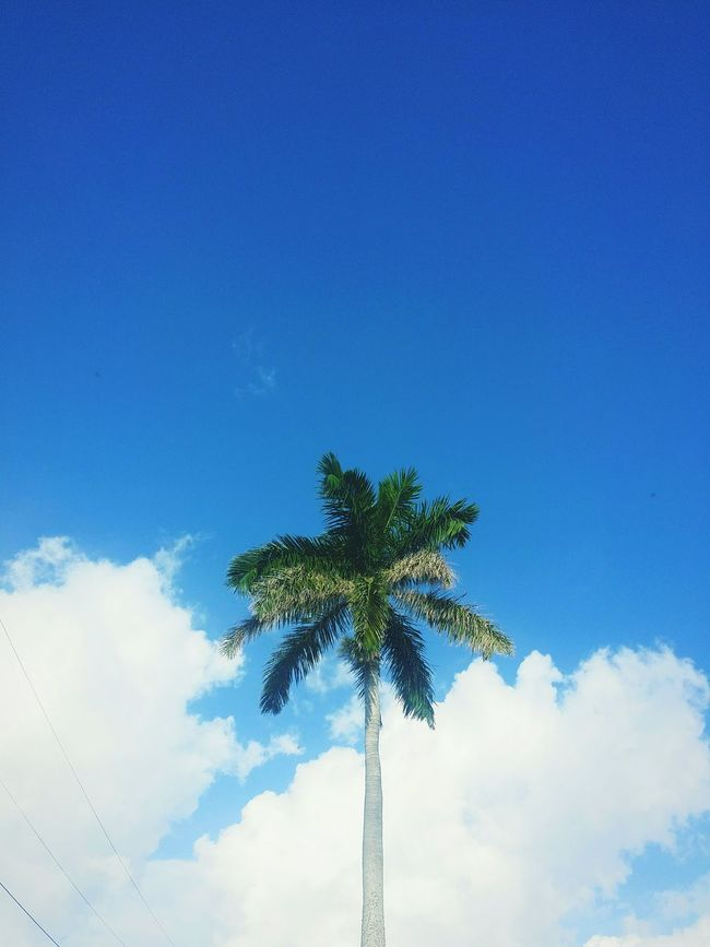 Palm Tree Blue Tree Sky Growth Scenics Tree Trunk Tranquility Tranquil Scene Nature Outdoors Branch Beauty In Nature EyeEm Best Shots EyeEm City Life Green Color Clear Sky