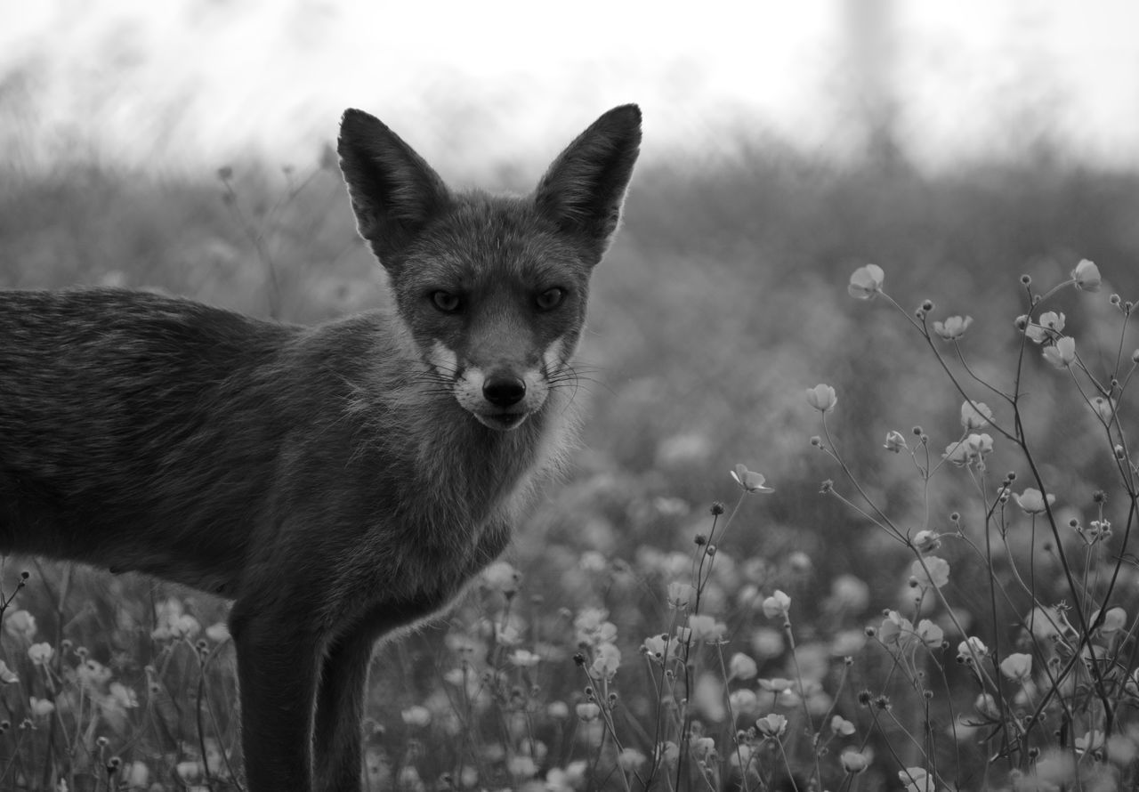 Beautiful stock photos of fox, Alertness, Animal Themes, Animals In The Wild, Day