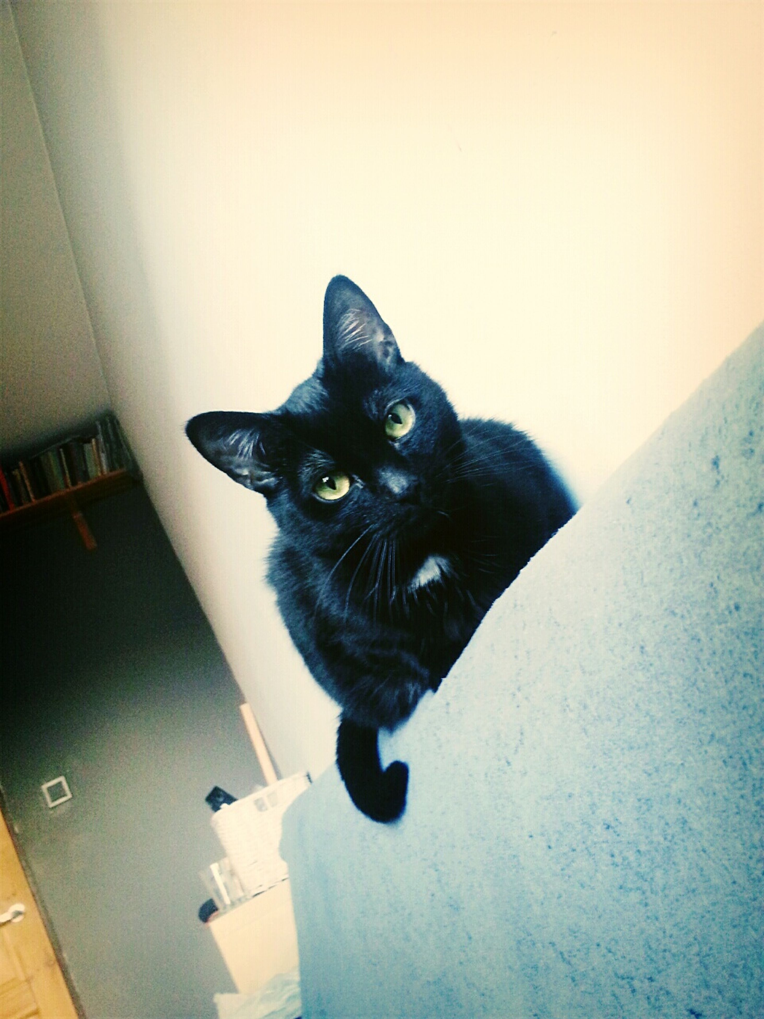 pets, one animal, domestic animals, animal themes, domestic cat, mammal, cat, looking at camera, portrait, indoors, feline, black color, sitting, staring, alertness, whisker, wall - building feature, no people, full length