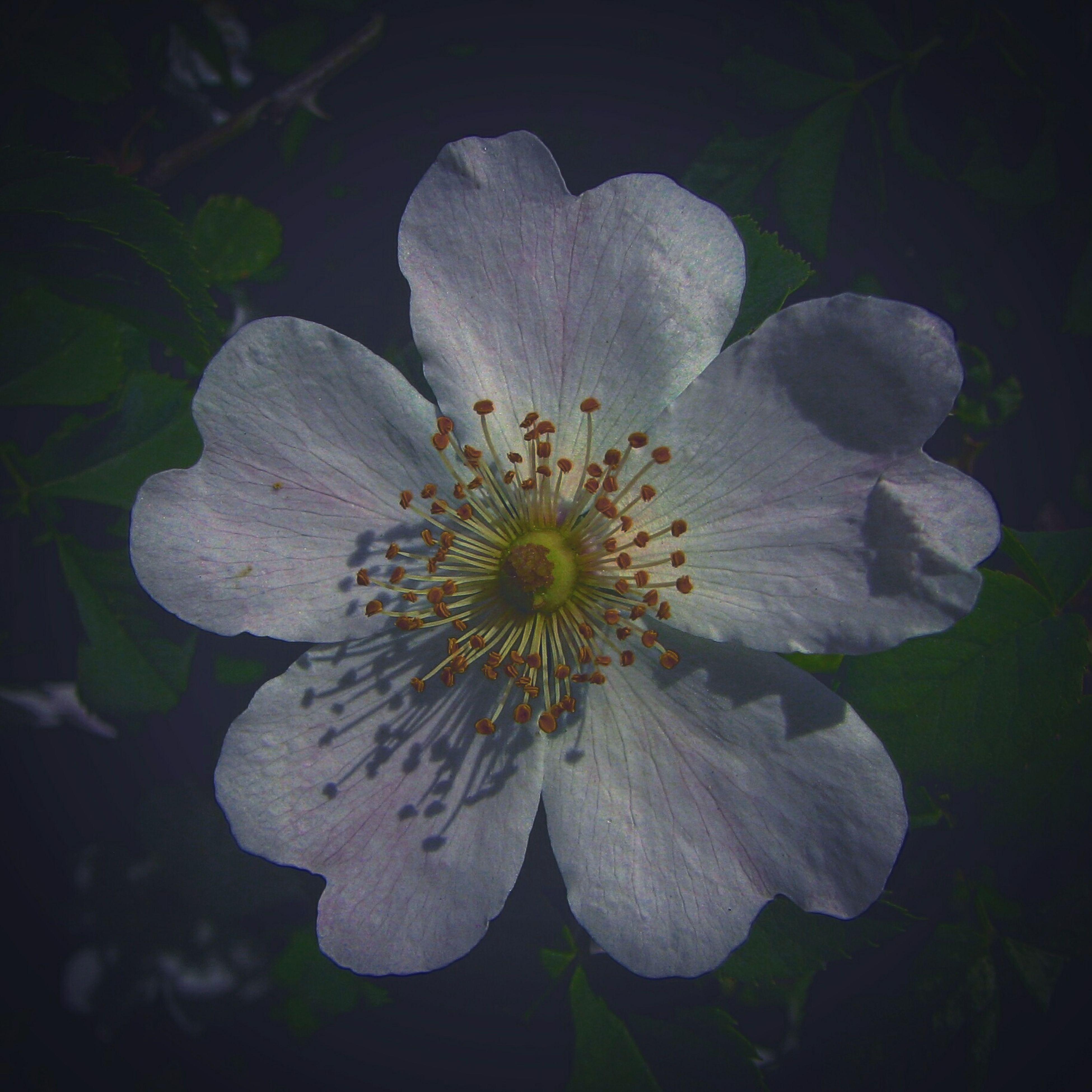 Play with light. Rosa Canina Dog Rose Rosier Des Chiens Instagram Edit