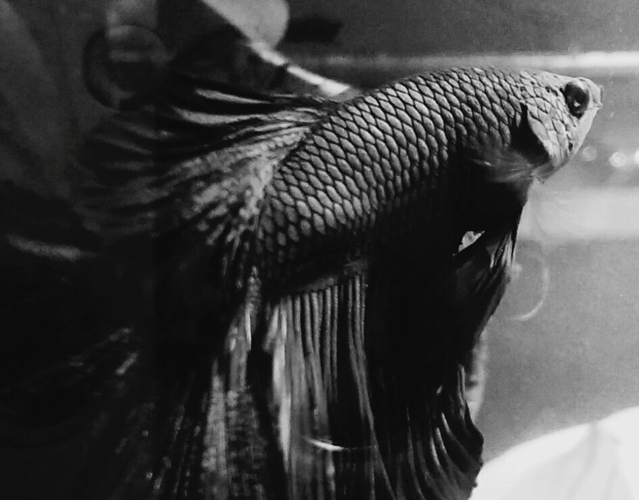 My workplace fish! His name is Tyr. He's a betta in a 5.5g heated & filtered tank. Betta Fish Betta  Bettafishcommunity First Eyeem Photo