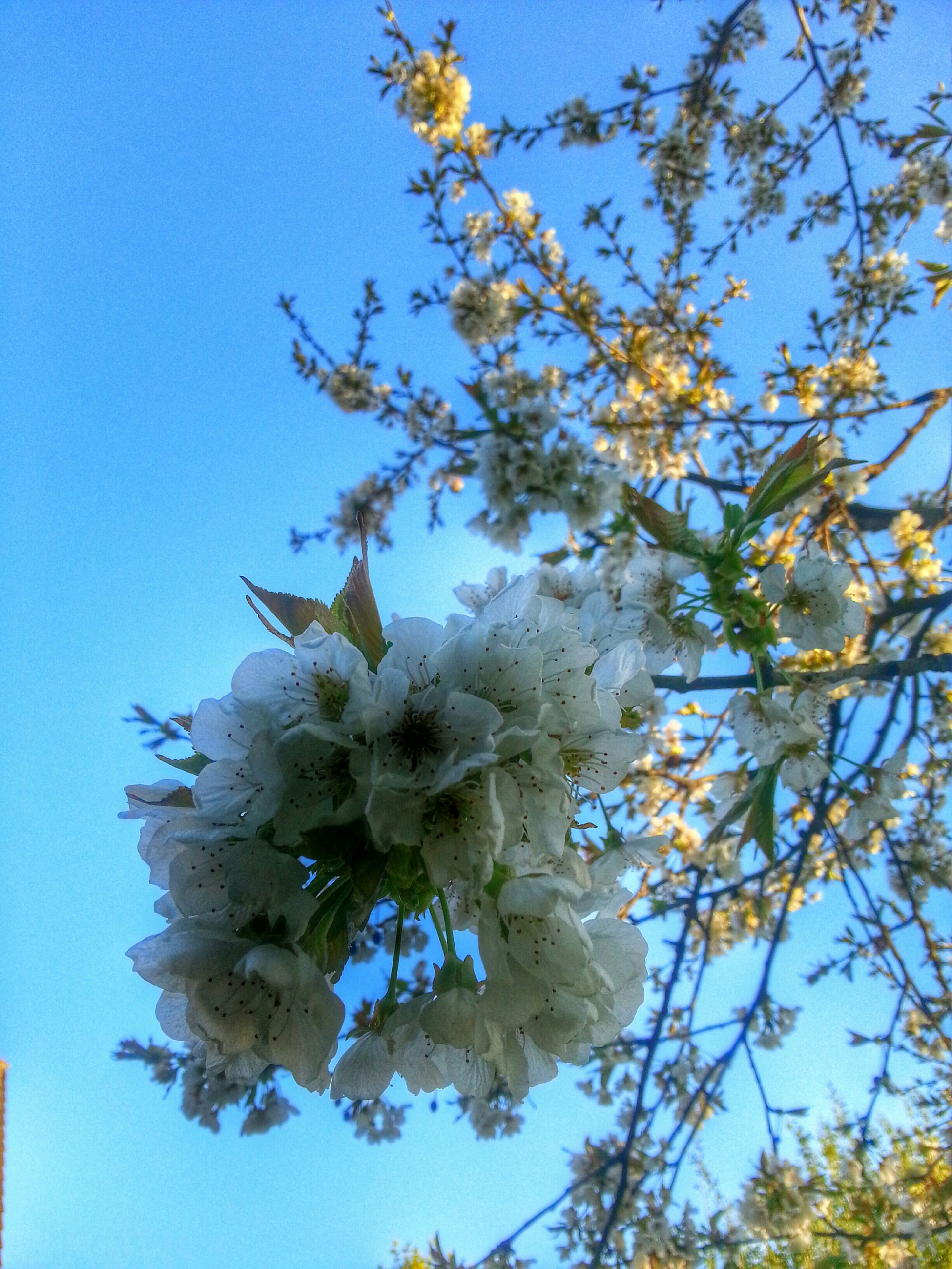 flower, low angle view, freshness, growth, branch, tree, clear sky, blue, fragility, beauty in nature, nature, blossom, blooming, petal, in bloom, white color, sky, springtime, cherry blossom, flower head