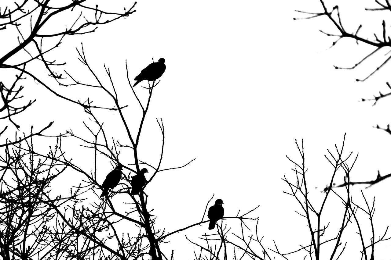 Animal Animal Themes Animal Wildlife Animals In The Wild Bare Tree Bird Black & White Branch Clear Sky Day Framed By Trees High Contrast Low Angle View Nature Outdoors Perching Silhouette Tree Wood Pigeons