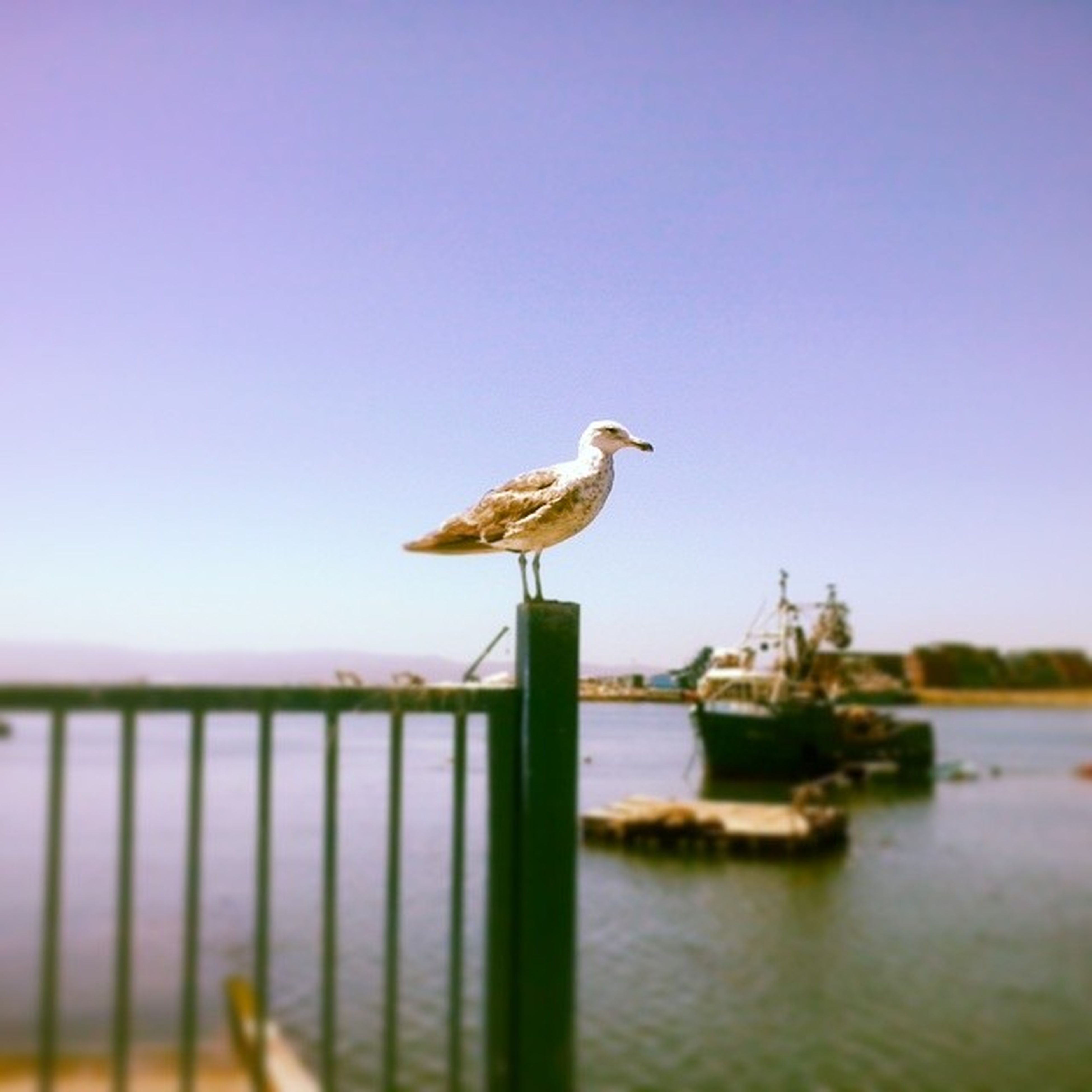 bird, animal themes, animals in the wild, one animal, wildlife, seagull, water, clear sky, perching, sea, copy space, nature, side view, focus on foreground, full length, railing, day, outdoors, beak, lake