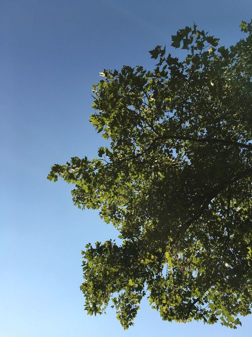 Tree Low Angle View Clear Sky Growth Branch Blue Leaf Green Color Beauty In Nature Nature Day Tranquility Scenics Green Outdoors Tranquil Scene Treetop No People High Section Lush Foliage