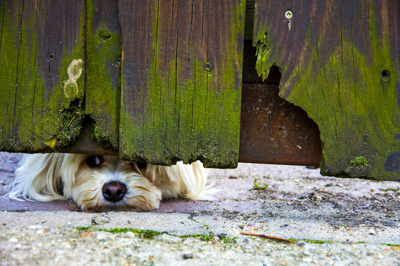 underdog Adorable Animal Themes Canine Curious Cute Day Dog Domestic Animals Fence Funny Furry Friends Garden Gate Lovable Mammal Nose One Animal Outdoors Peeping Pets Sneeky Sweet Waiting