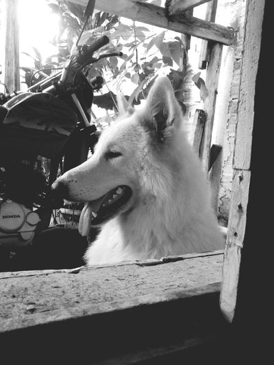 my thor :D Dog Berger Blanc Suisse Beautiful Animals  Black & White