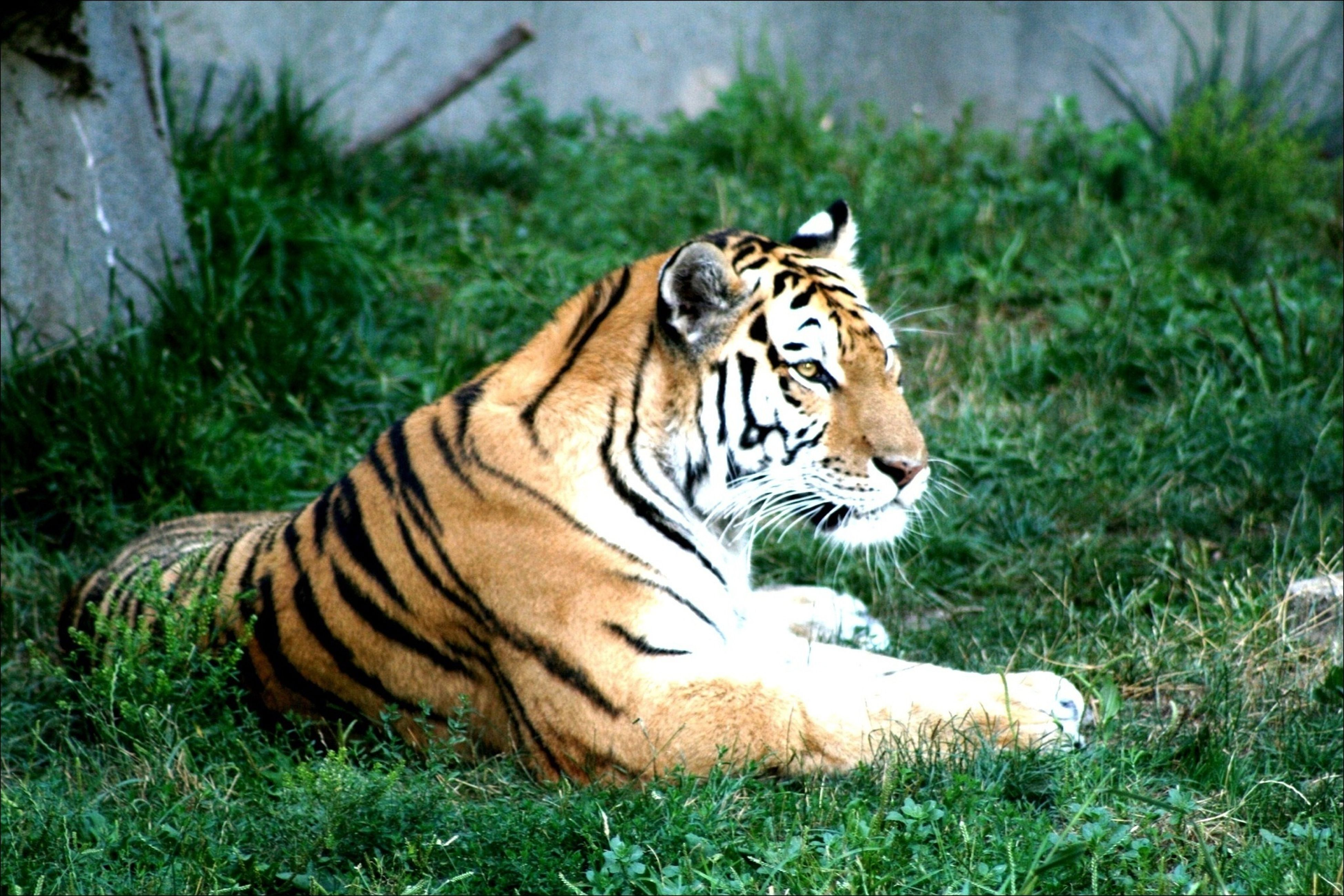animal themes, one animal, tiger, mammal, animals in the wild, animal markings, wildlife, safari animals, grass, relaxation, undomesticated cat, big cat, field, lying down, focus on foreground, plant, forest, day, nature, endangered species