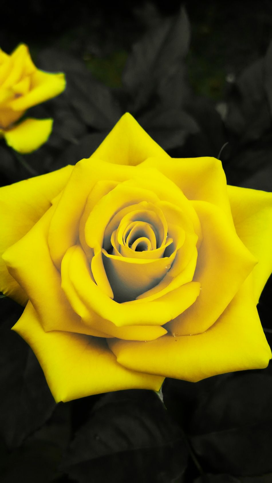 Eyeemroses Yellow Rose Rose🌹 Nature On Your Doorstep EyeEm Nature Lover Nature Naturelovers Flowerporn