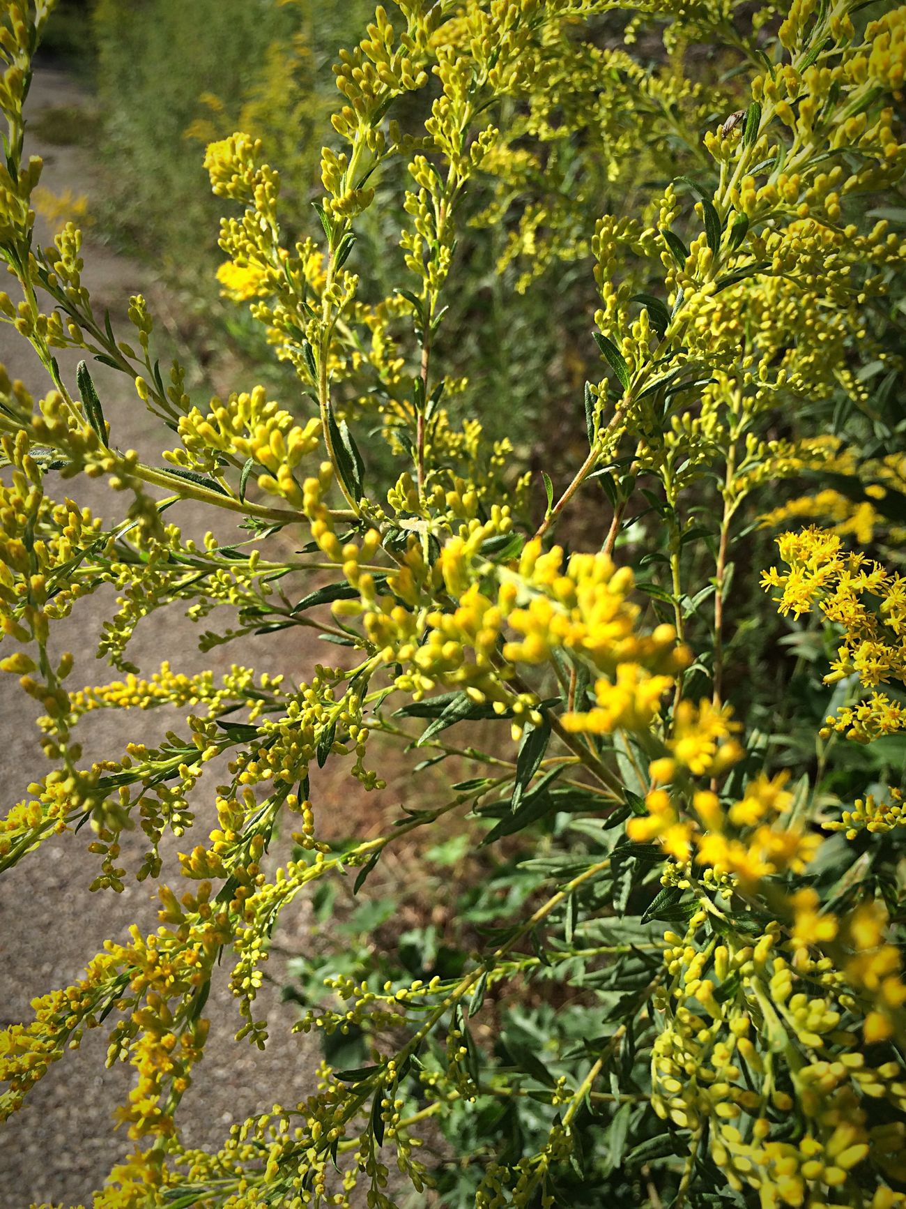 Goldenrod Michigan Autumn Blooming Beauty In Nature Plant Yellow Growth Close-up Focus On Foreground Outdoors