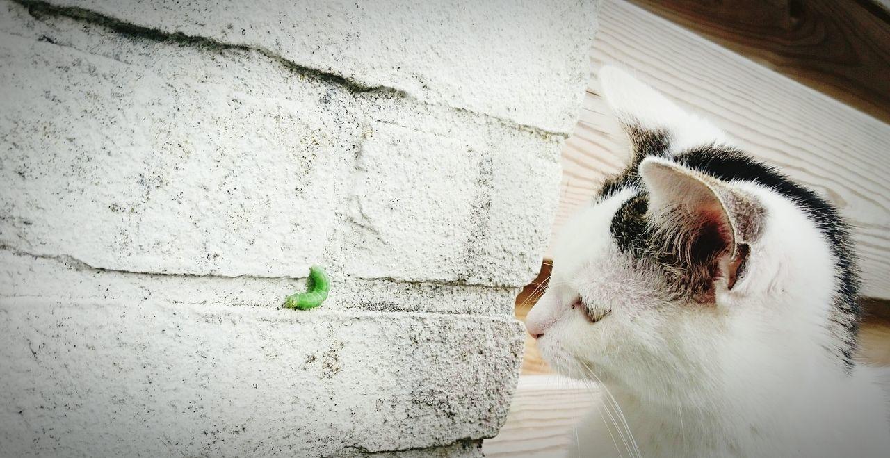 Pussycat Watching Caterpillar waiting for Attack Animal Behavior Meal Time Instinct