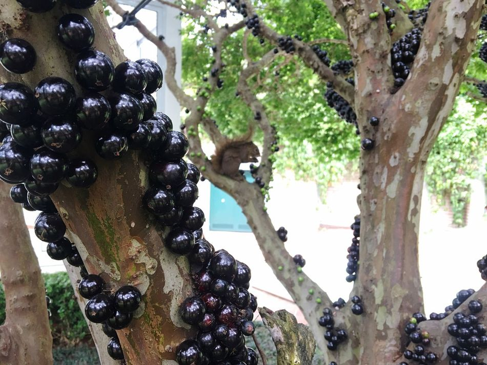 Tree Fruit Growth Grape Nature Freshness Healthy Eating Beauty In Nature Close-up Outdoors No People Day Vine Blackberry