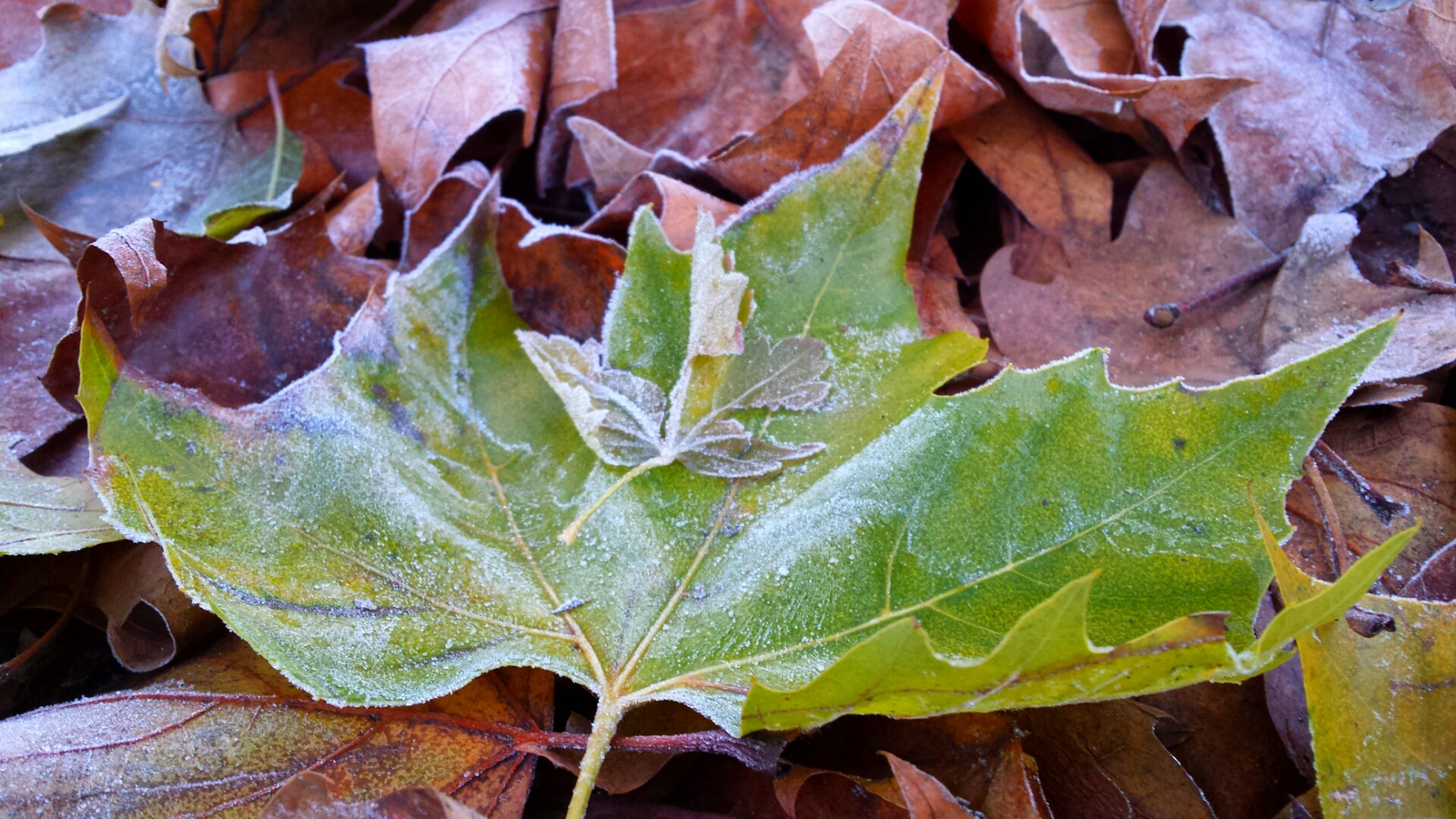 leaf, leaf vein, leaves, autumn, season, natural pattern, change, close-up, nature, full frame, dry, backgrounds, tranquility, beauty in nature, high angle view, outdoors, day, water, growth, fragility