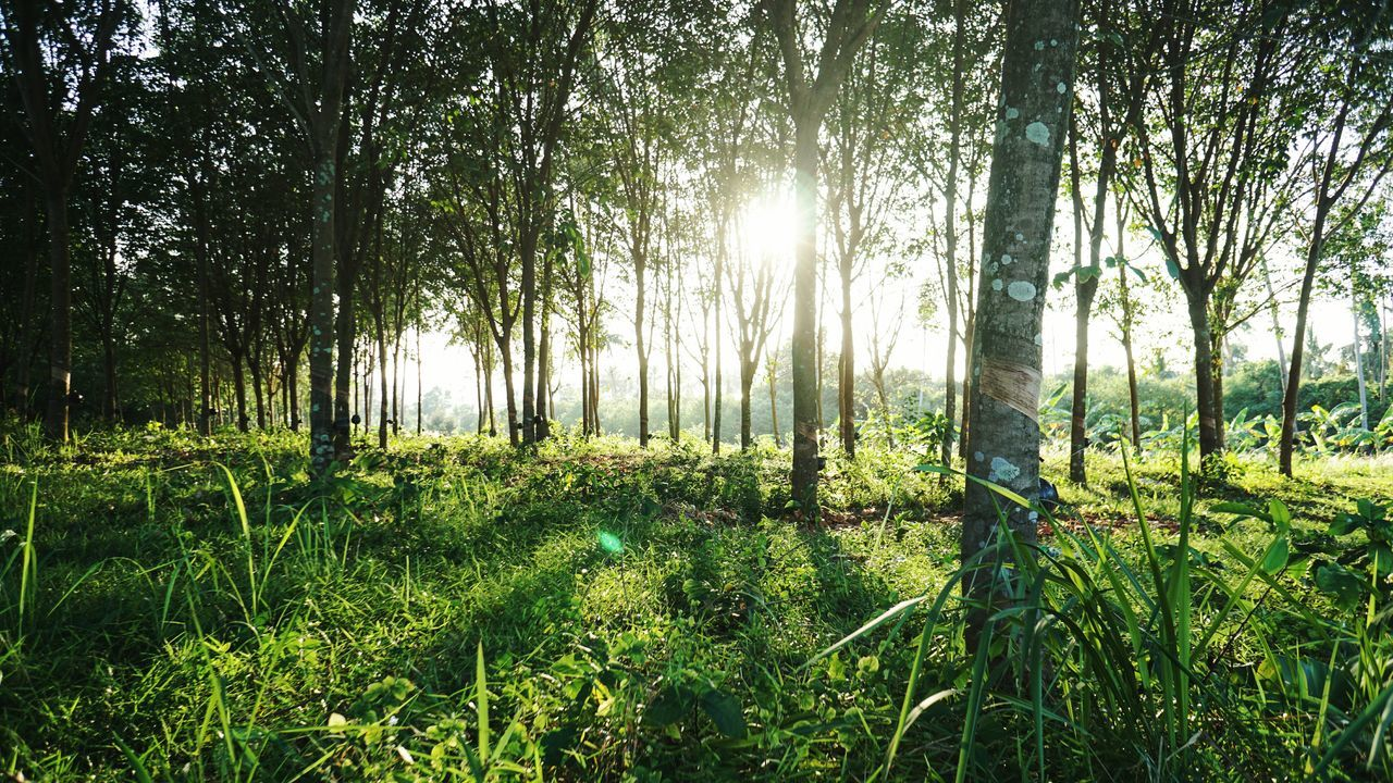 Growth Nature Tree Green Color Beauty In Nature Tranquility Abundance No People Outdoors Scenics Day Plant Forest Landscape Grass Lush - Description Freshness Sky Rubber Trees Rubber Plantation Rubber The Great Outdoors - 2017 EyeEm Awards Neighborhood Map Live For The Story