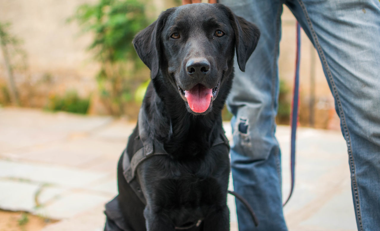 Animal Themes Black Labrador Close-up Day Dog Domestic Animals Mammal One Animal One Person Outdoors People Pets Real People