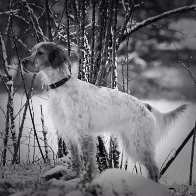 english setter in Skövde by Thisbe