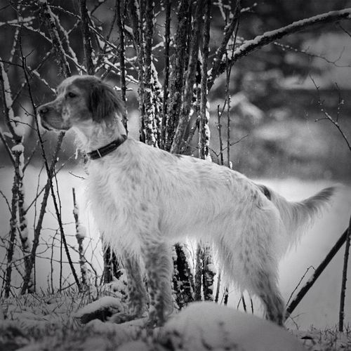 Blackandwhite Dog Black And White Winter Snow TheMinimals (less Edit Juxt Photography) Bw_dogs Bnw Noir Et Blanc English Setter All_shots