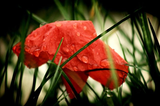 Noch immer blüht der Mohn in meinem Garten 🌺🌺🌺 Red Nature Beauty In Nature Plant Leaf Wet Growth Close-up Rain Fragility Freshness Flower No People Water Outdoors Day RainDrop Flower Head Poppy Poppy Flowers Nature_collection Fine Art Photography Ladyphotographerofthemonth Fine Art Silhouette