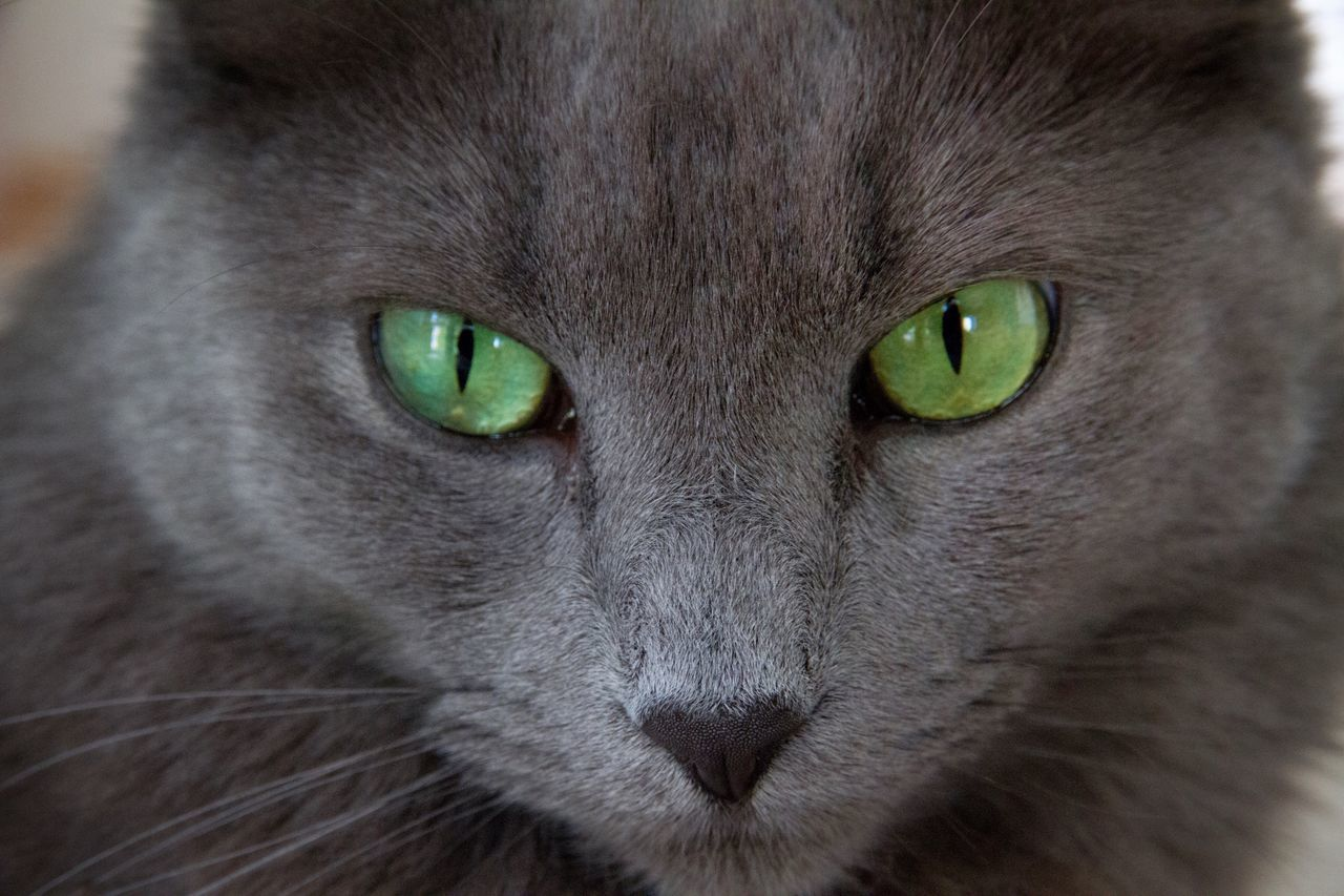 Mesmerizing eyes Cat Cat Photography Nebelung Nebelung Cat Cat Portrait Beautiful Eyes Green Eyes Grey Cat EyeEm Best Shots EyeEm Animal Lover Eye4photography  Looking At Camera Hello World Green Cute Cat Mezmerizing Stunning Point Of View Pet Pet Photography