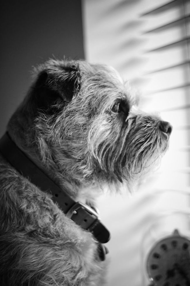 Keeping a watchful eye on the street. Dog❤ Boarder Terrier Light And Shadow 50mm Blackandwhite Canon60d Leeds, UK EyeEm Gallery Monochromatic Monochrome Monochrome Photography
