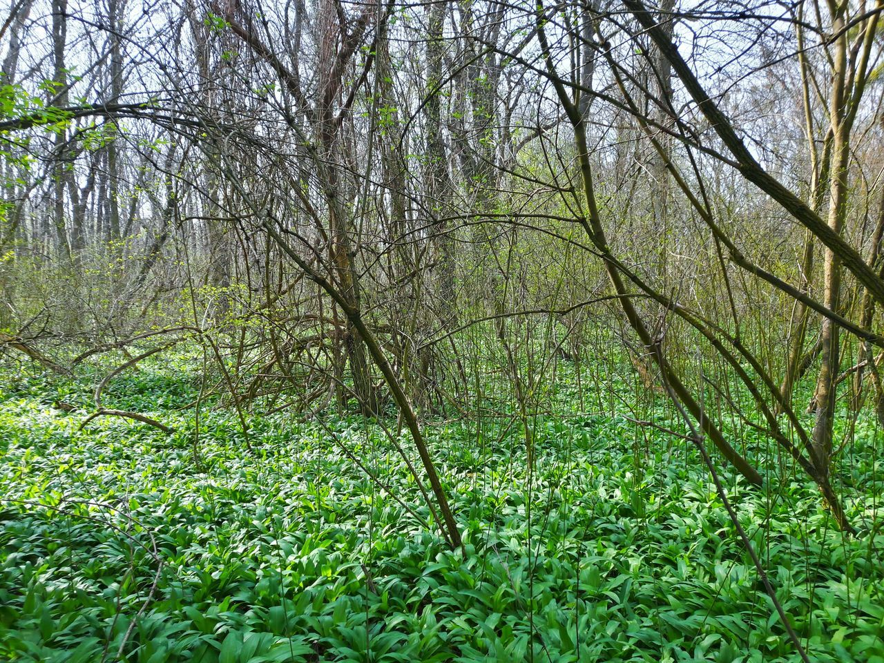 Green Color Nature Day Beauty In Nature Outdoors Lush Foliage Lush - Description Freshness Forest Tranquility Allium Ursinum Medvedi Cesnak Slovak Nature Tree Green Color Nature Growth