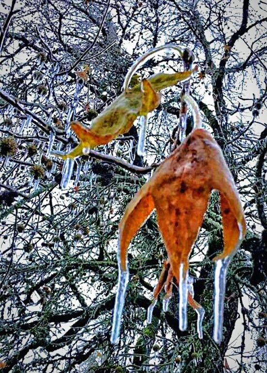 Ots just a little cold and icy....just a little... Tree Branch Low Angle View Outdoors No People Beauty In Nature Full Length Day Cold Temperature Bare Tree Snow Sky Tranquility Portrait Where Ever I May Wonder Tranquil Scene Ice Storm 2017 Icy Wonderland Pacific Northwest  Frozen Solid Frozen Leaves. Beautiful Scenery Freshness Wimtertime Weather Photography