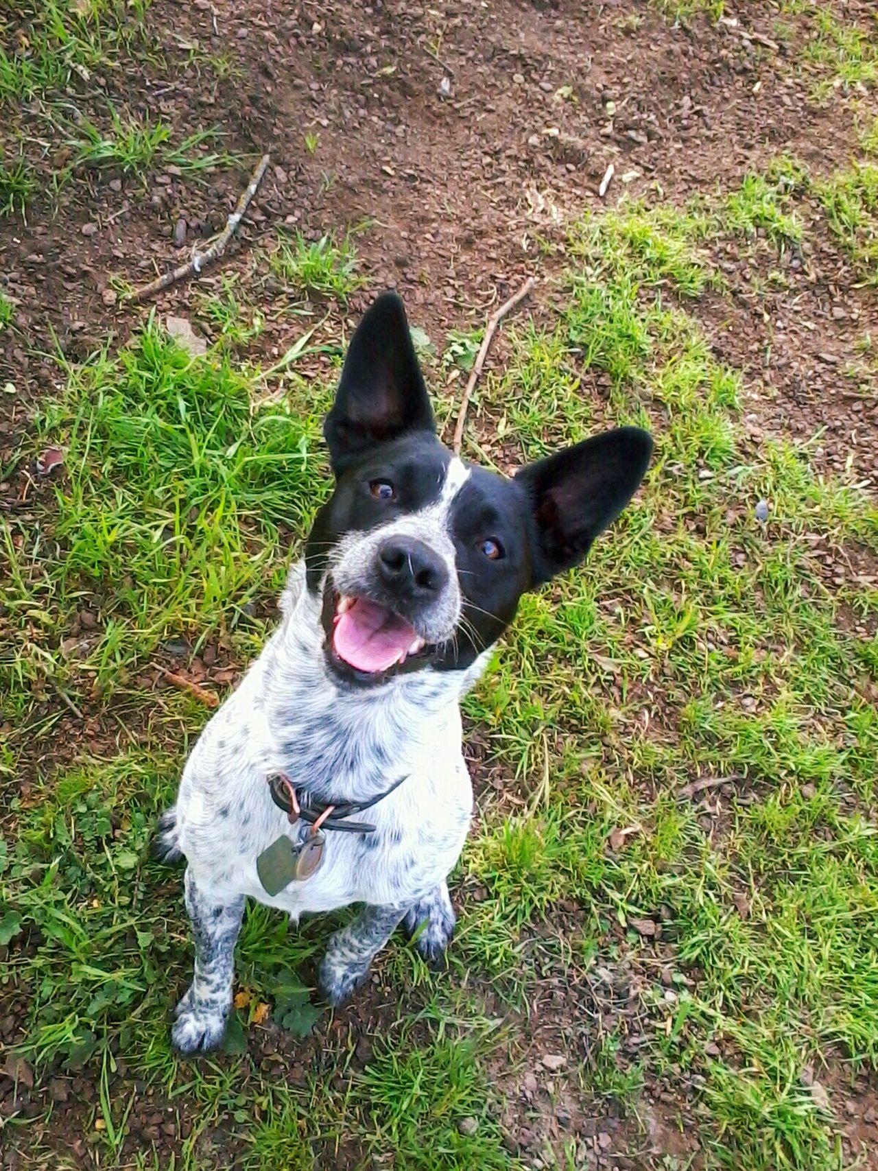 Dog Queensland Heeler Roseville, CA