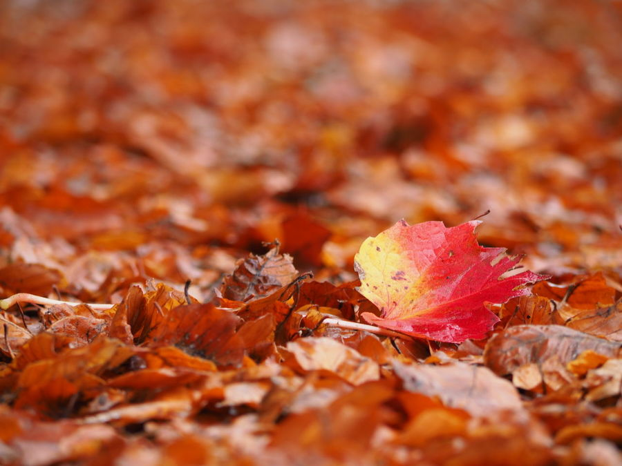 Autumn Leaf On The Pathway Autumn Beauty In Nature Fallen Leaf Leaf Carpet Leaves Orange Color Red Leaf Yellow Light