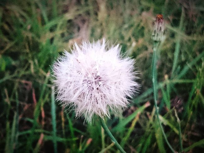 Dandelion Sonchus Oleraceus Nature Nature_collection Flowers, Nature And Beauty Flowers Dmuchawiec Flower#garden#nature#ecuador#santodomingoecuador#eyeEmfollowers#iphoneonly#nofiltrer#macro_garden#pretty#beautiful#followme#sho Naturephotography