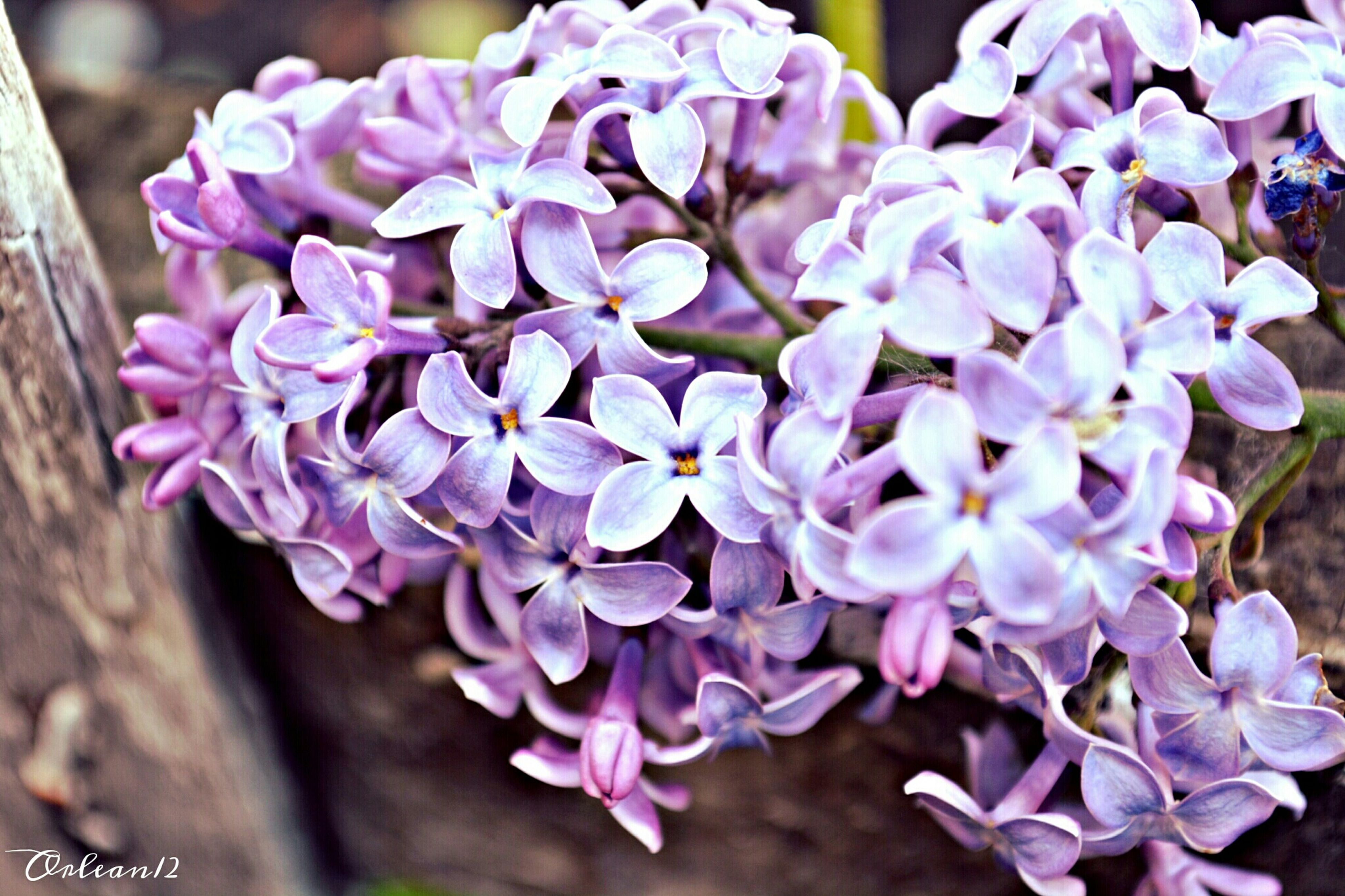 flower, fragility, freshness, petal, purple, growth, beauty in nature, flower head, close-up, focus on foreground, nature, blooming, plant, in bloom, bunch of flowers, hydrangea, blossom, selective focus, botany, pink color