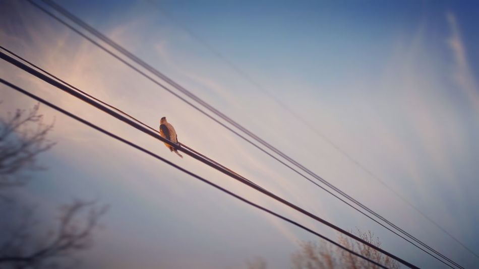 Wired. Cable Bird Low Angle View Animals In The Wild Sky Animal Themes Connection Sunset One Animal Flying Nature Power Supply Animal Wildlife No People Cloud - Sky Outdoors Beauty In Nature Day Technology Photojournalism Shootermag Fujifilm X-E2
