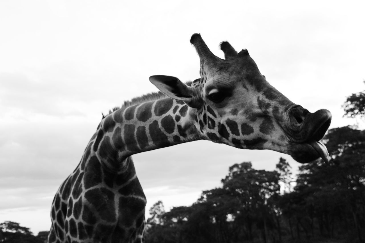 Alertness Animal Animal Head  Animal Themes Animals In The Wild Balance Composition Curiosity Domestic Animals Focus On Foreground FUNNY ANIMALS Funny Face Giraffe Mammal Natural Pattern No People One Animal Part Of Relaxing Side View Two Animals Wildlife Zoology