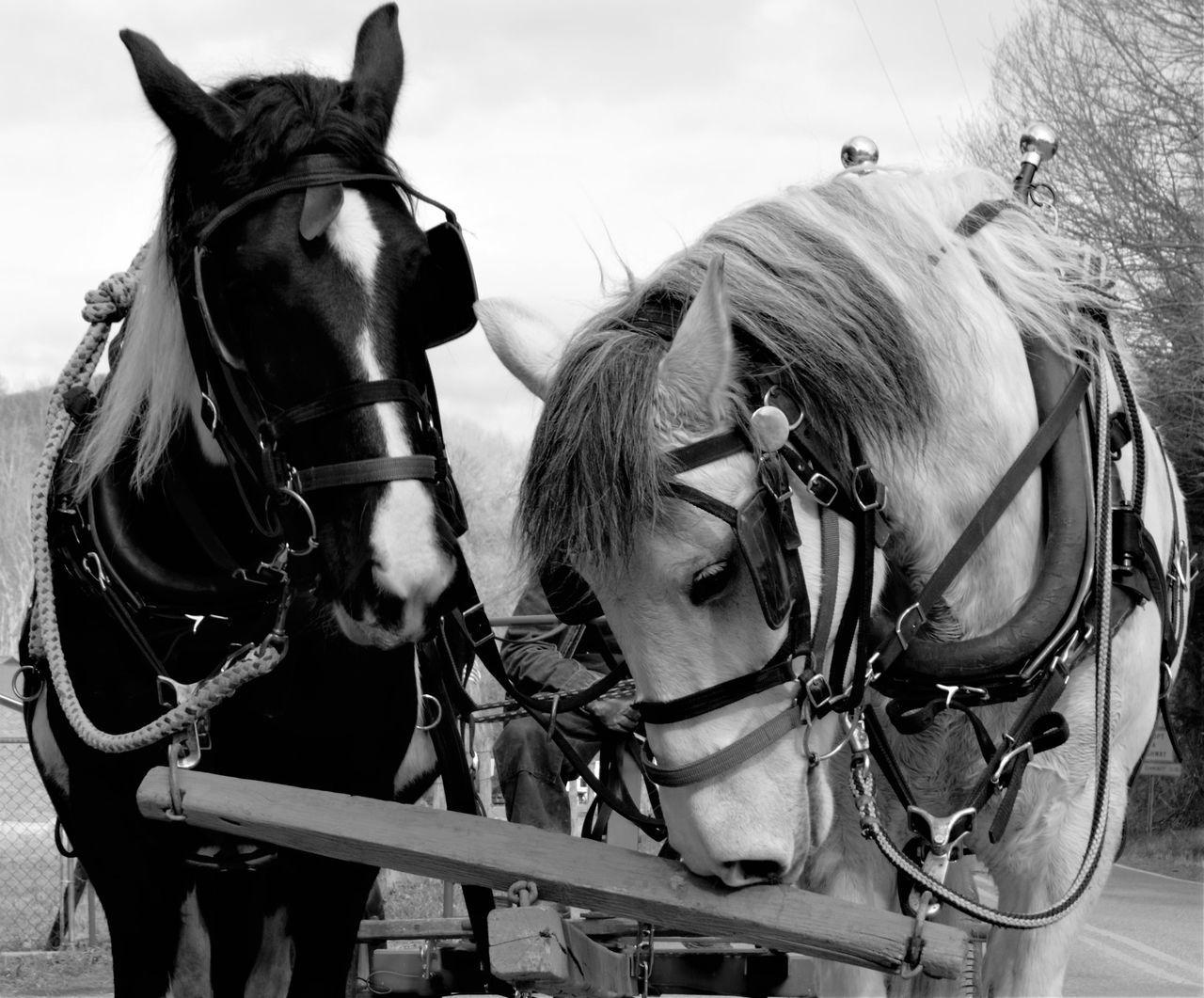 Black And White Blackandwhite Domestic Animals Horse Horse Photography  Horses Working Animal