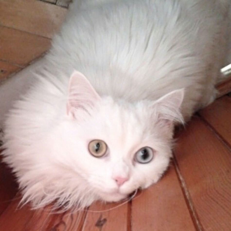 Benimkedim Maya Mayukhan Cat kedi işegitmesenolmazmi