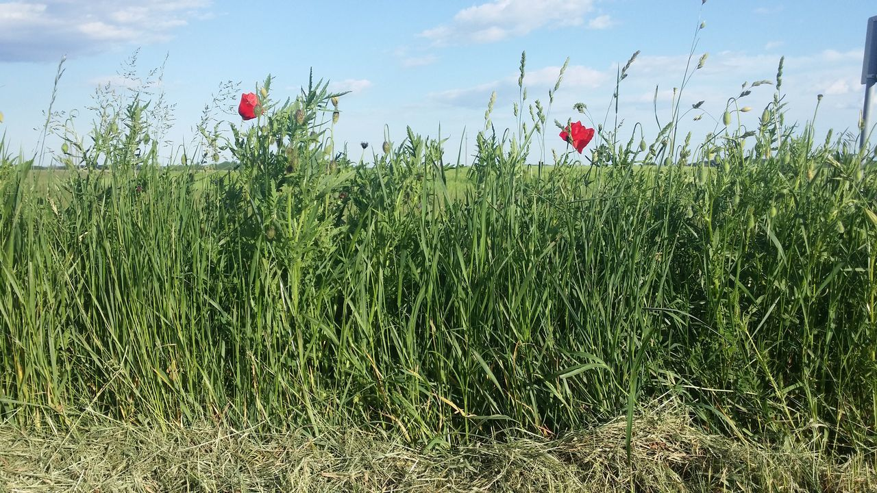 Clouds Felhők Field Flower Fűszálak Grass Green Color Kék ég Nature Nature Pipacsok Plant Poppy Flowers Wind Zöld út Szélén