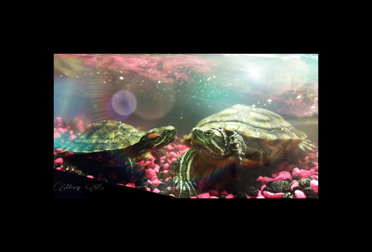☆Starry and her mom Galaxy☆ My new pets ♡♡♡ Turtle Power Turtles(: My Turtle  I Love My Pets