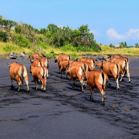 Cows on the Beach Animal Animals In The Wild Beach Beach Life Beach Photography Beachphotography Cow Cow On The Beach Cows Nature No Humans No People Outdoors Working Animal