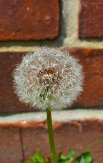 Beauty In Nature Brick Wall Close-up Dandelion Seed Growth Nature Dandelion Seeds Seeds Of Change