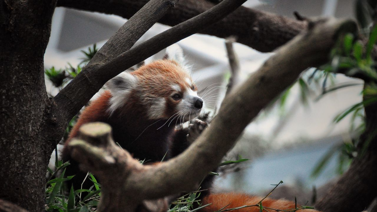 Animal Themes Animal Wildlife Animals In The Wild Beauty In Nature Climbing Cute Animals Day Forest Leisure Mammal Nature Nature No People One Animal Orangutan Outdoors Red Panda Red Panda Tree Woods Zoo Zoo Animals