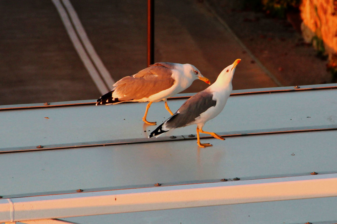 Animal Themes Animals In The Wild Brautwerbung In The Morning Seagull Sunrise Two Animals Wildlife
