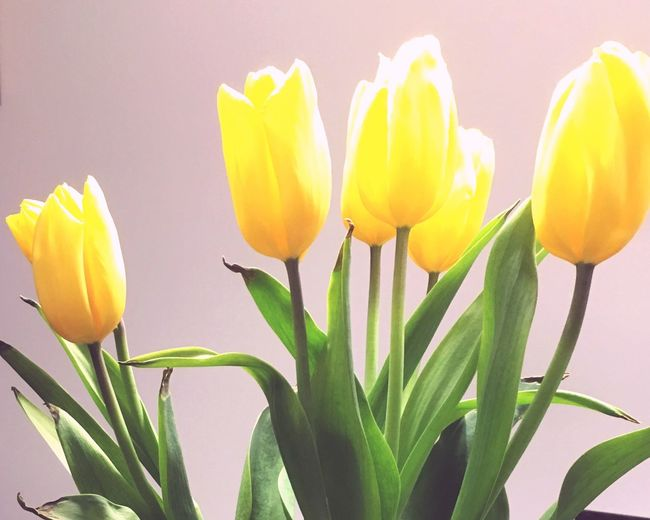 Flower Freshness Nature Tulip Close-up Fragility Beauty In Nature Growth Plant Petal Flower Head Blooming Yellow No People Day Outdoors